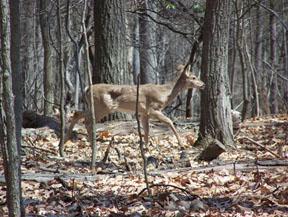 Deer at Dayspring by Aeren Martinez